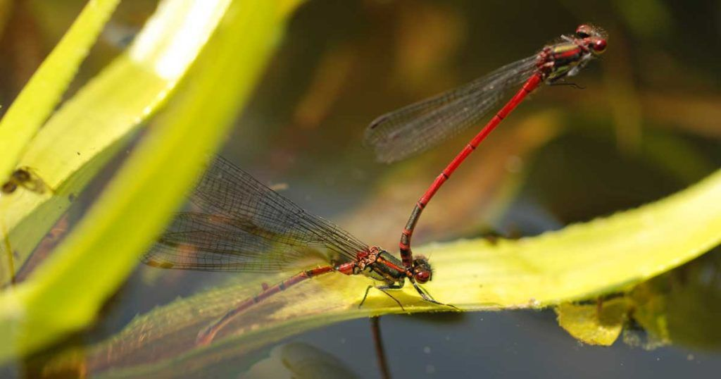 Large red damselfly on the norfolk broads in spring