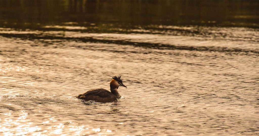 Grebe on the Norfolk Broads