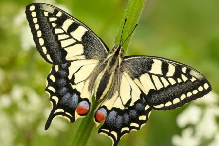 Swallowtail butterfly on the norfolk broads in spring